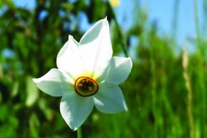 Fanetele-cu-Narcise